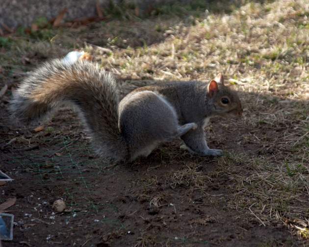 squirrel scratching himself