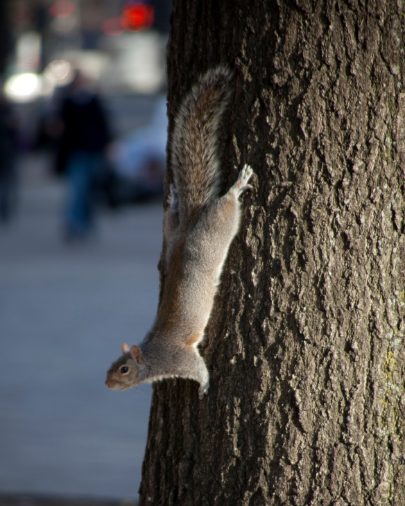 squirrel running down tree